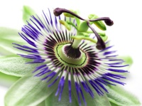 passionflower close up